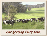 Our Dairy Cows Grazing